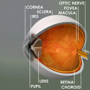 The white, fibrous, protective outer layer of the eye.