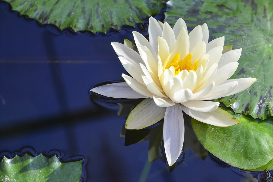 White lotus flower floating peacefully on a pond.