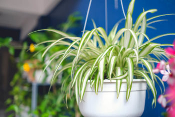 Image of leafy houseplant in a white ceramic pot.